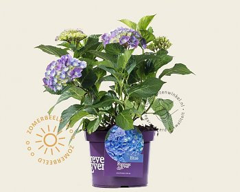 hydrangea-macrophylla-forever-ever-blauw