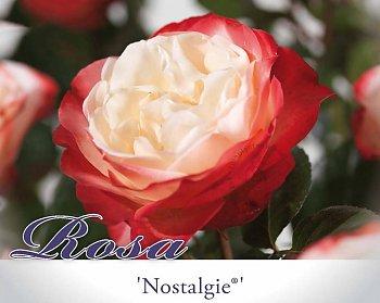 rosa-nostalgie